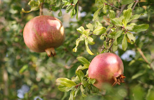 Two pomegranates in the Garden of the Center