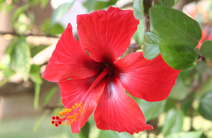Red hibiscus blossom from the garden of the hostel